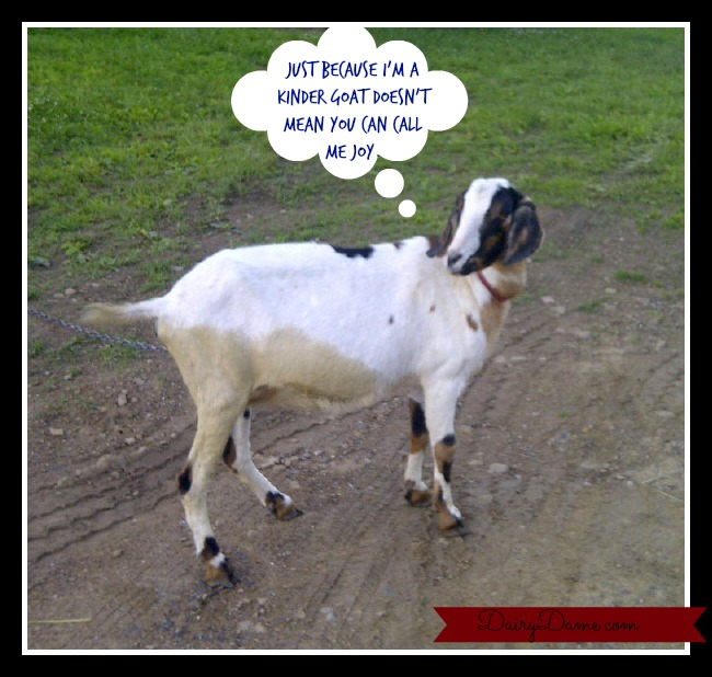 kindergoat
