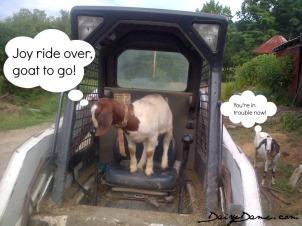 goat joyride
